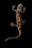 The Underside of a Blue-Tailed Fire-Bellied Newt  Cynops Cyanurus