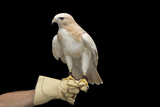 A Partially Albino Red-Tailed Hawk  Buteo Jamaicensis  at the Minnesota Zoo