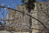 Almond Blossoms Bloom Outside of the Palace of the Shirvanshahs
