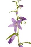 A Creeping Bellflower Plant  Campanula Rapunculoides