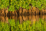 Reflections of Roots and Leaves of Red Mangroves in Avocado Creek  a Tributary of the Shark River