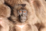A Young Gelada Baboon  Theropithecus Gelada  Sitting with Another