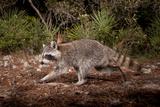A Raccoon Triggers a Camera Trap