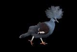 A Blue Crowned Pigeon  Goura Cristata  at Omaha's Henry Doorly Zoo and Aquarium