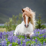 Horse Running by Lupines. Purebred Icelandic Horse in the Summertime with Blooming Lupines, Iceland Papier Photo par Green Light Collection