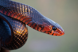 An Eastern Indigo Snake  Drymarchon Corais Couperi