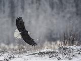 Portrait of a Bald Eagle  Haliaeetus Leucocephalus  in Flight During a Snow Shower