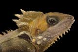 Boyd's Forest Dragon  Hypsilurus Boydii  at the Wild Life Sydney Zoo
