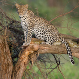 Leopard (Panthera Pardus) Sitting on a Tree  Ndutu  Ngorongoro Conservation Area  Tanzania