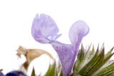Catnip Flowers  Nepeta Cataria