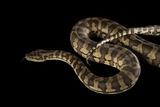 A Coastal Carpet Python  Morelia Spilota Mcdowelli  at the Wild Life Sydney Zoo