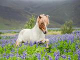Icelandic Horse Running in Lupine Fields  Iceland