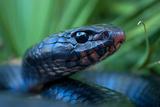 Close Up Portrait of an Indigo Snake