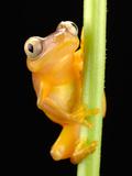 A Grey-Eyed Frog  Opistothylax Immaculatus