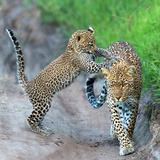 Leopard (Panthera Pardus) Family  Serengeti National Park  Tanzania