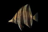 A Truncate Coralfish  Chelmonops Truncatus  at Omaha's Henry Doorly Zoo and Aquarium