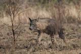 Portrait of a Brown Hyena  Hyaena Brunnea