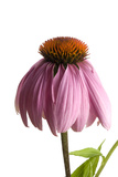 A Purple Coneflower  Echinacea Purpurea