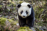 Portrait of a Captive-Born Giant Panda in the Dengsheng Forest