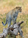 Leopard (Panthera Pardus) Climbing on Tree  Serengeti National Park  Tanzania