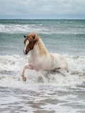 Icelandic Horse in the Sea, Longufjorur Beach, Snaefellsnes Peninsula, Iceland Papier Photo par Green Light Collection