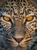 Leopard (Panthera Pardus)  Ndutu  Ngorongoro Conservation Area  Tanzania