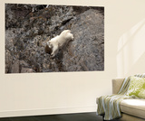 A Mountain Goat  Oreamnos Americanus  Moves with Ease Down a Rocky Ledge