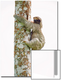 Three-Toed Sloth (Bradypus Tridactylus) Climbing on a Tree  Sarapiqui  Costa Rica