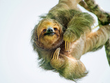 Three-Toed Sloth (Bradypus Tridactylus) Hanging  Sarapiqui  Costa Rica