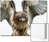 Red-Tailed Hawk (Buteo Jamaicensis)  Bird of Prey  England  United Kingdom