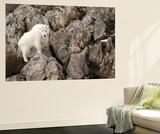 A Mountain Goat  Oreamnos Americanus  in a Rocky Landscape