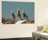 Portrait of Three Young Bighorn Sheep Standing on a Cliff