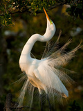 A Great Egret  Ardea Alba  in Mating Feathers  Poses for a Mate