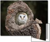 Barn Owl (Tyto Alba)  Herefordshire  England  United Kingdom