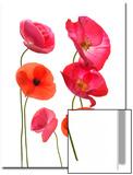 Oriental Poppy Flowers  Papaver Orientale