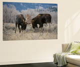 A Pair of Bull Moose  Alces Alces  Lock Antlers in the Sage Brush of Grand Teton National Park