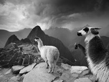 Llamas Overlook the Pre-Columbian Inca Ruins of Machu Picchu