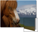 Close Up Portrait of an Icelandic Horse