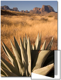 A Century Plant  Agave Harvardiana  in the Chisos Basin Area of Big Bend National Park
