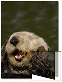 Portrait of a Sea Otter  Enhydra Lutris  Grooming While Floating on its Back