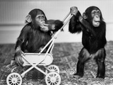 Chimpanzees Jambo and William at Twycross Zoo  England  September 19  1984