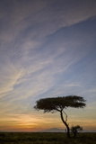 Acacia Tree and Clouds at Sunrise