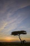 Acacia Tree and Clouds at Sunrise
