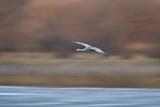 Sandhill Crane (Grus Canadensis) in Flight Parachuting on Approach to Landing