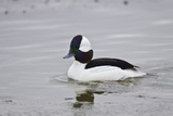 Bufflehead (Bucephala Albeola)  Male  Bosque Del Apache National Wildlife Refuge  New Mexico  Usa