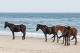Wild Mustangs (Banker Horses) (Equus Ferus Caballus) in Currituck National Wildlife Refuge