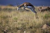 Springbok (Antidorcas Marsupialis) Buck Springing or Jumping
