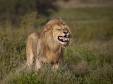 Lion (Panthera Leo) Demonstrating the Flehmen Response