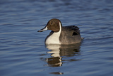 Northern Pintail (Anas Acuta) Male Swimming