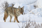 Coyote (Canis Latrans) in the Snow in Winter